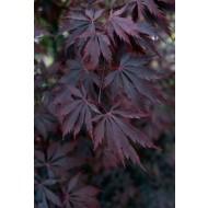 Acer palmatum Black Lace- Japanese Maple