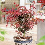 Acer palmatum Starfish - Japanese Maple