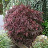 Acer palmatum Red Feathers
