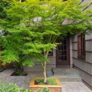 LARGE 160-180cm Specimen Acer palmatum dissectum Seiryu - Japanese Maple Tree