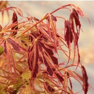 Acer palmatum Manyo-no-sato - Rare Japanese Maple