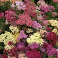 Achillea millefolium Summer Pastels - Yarrow