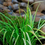 Complete Water Plant Pond Kit - Acorus, Pontederia and Iris
