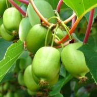 Large 6-7ft Specimen - Kiwi Berry - Actinidia arguta Issai - Fuzz Free Kiwi Berry