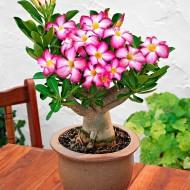 Adenium obesum - Desert Rose Plant - 'Anouk' in Bud