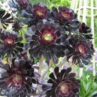 Aeonium arboreum var atropurpureum Zwartkop - 'Schwarzkopf' - Black tree Aeonium - Pack of THREE Plants