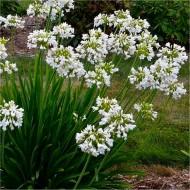 Agapanthus Petite Eskimo - Hardy White Nile Lily