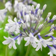 Agapanthus africanus Twister - Hardy Bicolour Blue & White Twister Nile Lily
