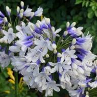 "Agapanthus ""Enigma"" - Bicolour Nile Lily"