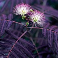 Albizia julibrissin Summer Chocolate - Purple Silk Tree Albizzia - 100-120cms