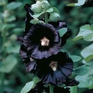 Alcea rosea Nigra - Black Hollyhock (Althea) - Pack of FIVE