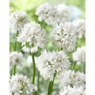 Allium amplectens 'Graceful Beauty' - Pack of THREE Bulbs