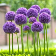 Allium hollandicum Gladiator