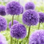 Allium macleanii 'His Excellency' - Pack of THREE Bulbs