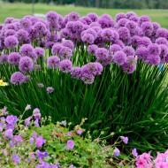 Allium senescens Millenium - Amazing Summer Flowering Allium - In Bud & Bloom