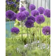 Allium Purple Sensation - Pack of 12 Bulbs