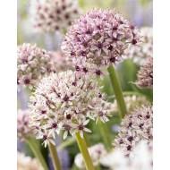 Allium Silver Spring - ONE Bulb
