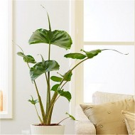 Rare Stingray Plant - Large Alocasia - Elephant Ears