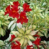 Alstroemeria 'Little Miss Zoe' - Variegated Peruvian Lily