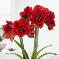 Amaryllis - DOUBLE CHERRY RED - Gift Boxed Hippeastrum Bulb
