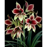 Rare & Exotic - Easy to Grow Butterfly Amaryllis Papilo Hippeastrum - Complete Gift Set