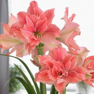 Amaryllis - SWEET NYMPH - Double Soft Pink Hippeastrum Bulb