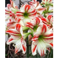 HUGE Goliath Sized Amaryllis Ambiance Amaryllis Bulbs Ready to Bloom