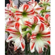 HUGE Goliath Sized Amaryllis Ambiance Amaryllis Bulbs Ready to Bloom