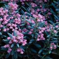 WINTER SALE - Andromeda polifolia - Blue Ice