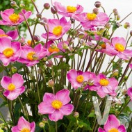 Anemone japonica Fantasy 'Cinderella' - Japanese Anemone - Windflower