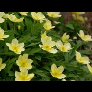 Anemone Lipisensus - Pack of THREE