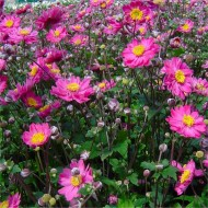 Anemone hupehensis japonica Pamina - Windflower