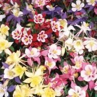 Aquilegia Swan Series Mixed Tray of FIVE Plants - Columbine - Grannys Bonnet