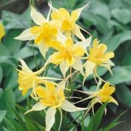 Aquilegia Yellow Star - Granny's Bonnett