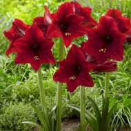 Garden Amaryllis - Arabian Night - Hippeastrum - Pack of FIVE