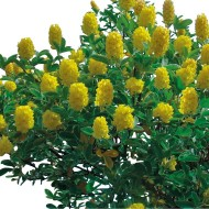 Cytisus battandieri - Pineapple or Moroccan Broom