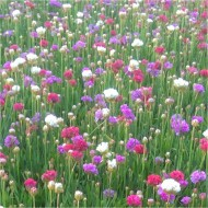 Armeria pseudarmeria Ballerina Tricolour - Large flowered Thrift