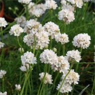 Armeria maritima alba - White Sea Thrift Plants