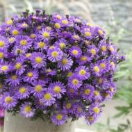 Michaelmas Daisy - SAPPHIRE BLUE - Pack of THREE Flowering Aster Plants