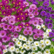 Aster 'Fall Pleasure Mix' - Pack of TEN