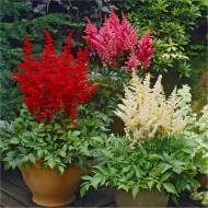 BULK PACK - Astilbe Collection - Pack of TEN Plants
