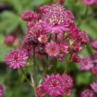 Astrantia Star of Beauty - Masterwort