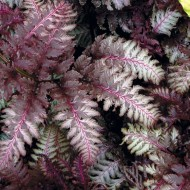 Athyrium niponicum Red Beauty - Japanese Painted Fern
