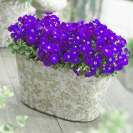 SPECIAL DEAL - Aubretia gracilis Kitte Blue