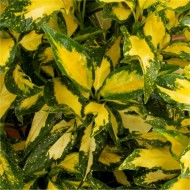 Aucuba japonica 'Picturata' - Japanese Laurel