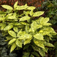 Aucuba japonica Crotonifolia - Evergreen Japanese Variegated spotted Laurel