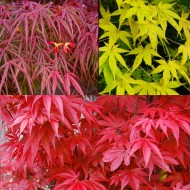 Amazing Acers - Autumn Colour Collection - Japanese Maples - THREE Varieties