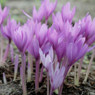 Colchicum 'The Giant' - Autumn Crocus Bulb