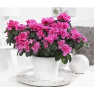 Pack of THREE Beautiful Azaleas in Classic White Pots bursting in to bloom