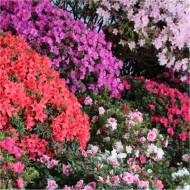 Rainbow Azalea japonica Collection - Evergreen Japanese Azaleas - Pack of THREE Plants